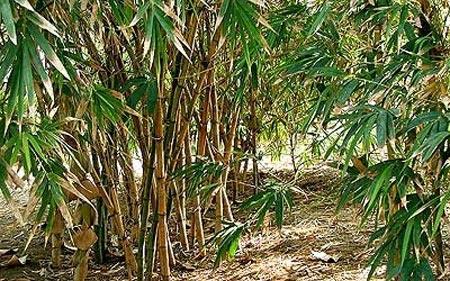 cuidados del bamb