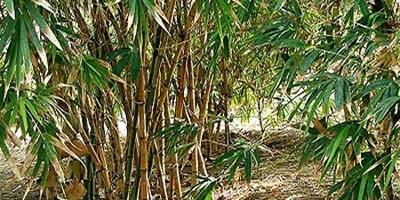 Cuidados de los bambúes