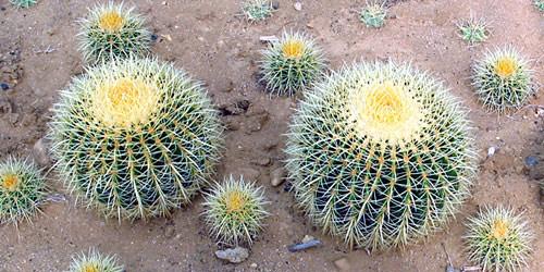 Cuidados de los cactus